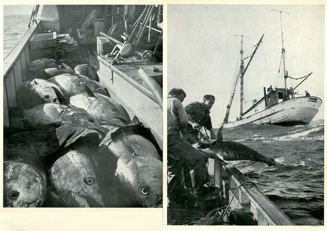 Tuna fishing in the 50s
